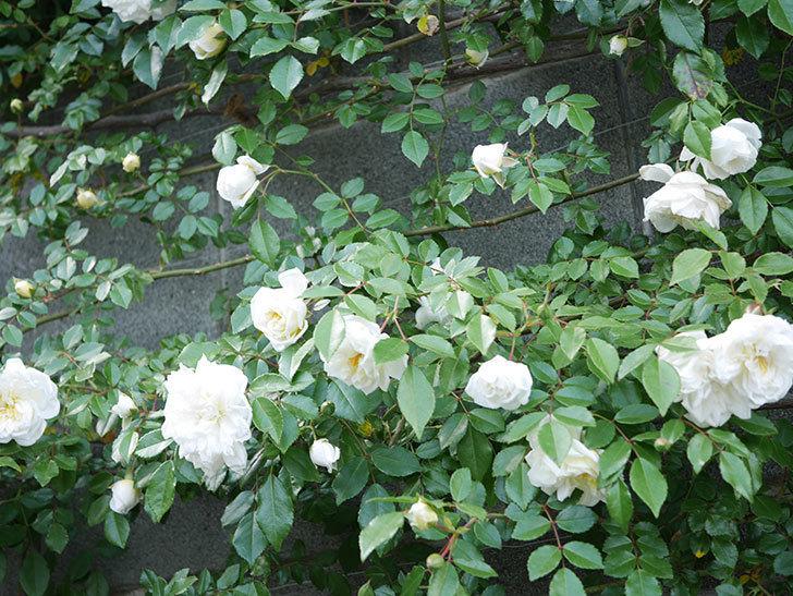 アルベリック・バルビエ(ツルバラ)の花が増えてきた。ツルバラ。2021年-033.jpg