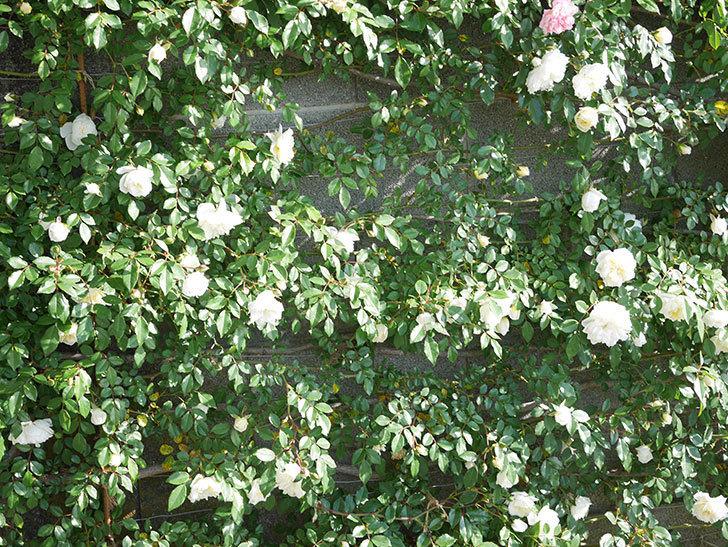 アルベリック・バルビエ(ツルバラ)の花が増えてきた。ツルバラ。2021年-034.jpg