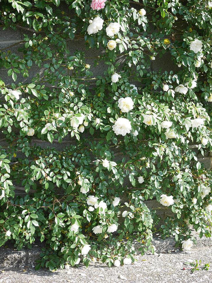アルベリック・バルビエ(ツルバラ)の花が増えてきた。ツルバラ。2021年-035.jpg