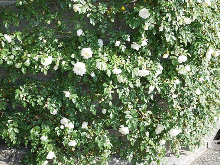 アルベリック・バルビエ(ツルバラ)の花が増えてきた。ツルバラ。2021年-036.jpg