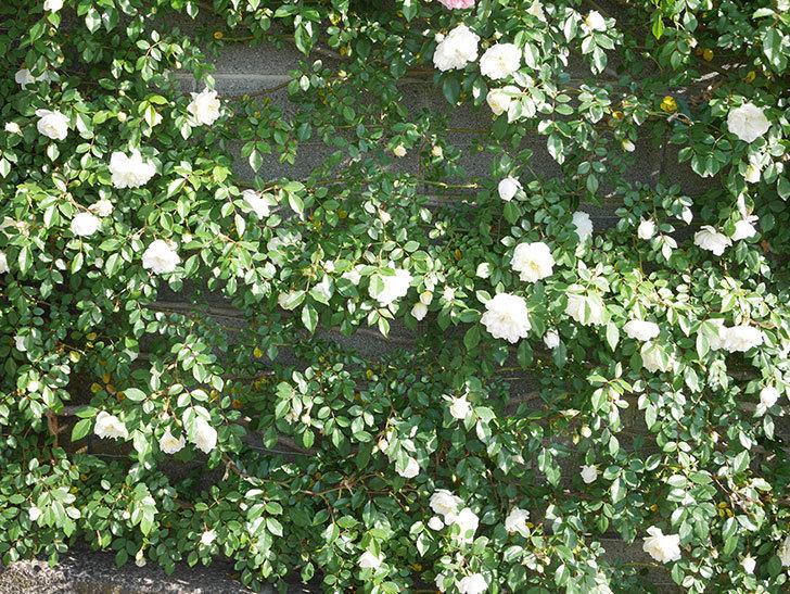 アルベリック・バルビエ(ツルバラ)の花が増えてきた。ツルバラ。2021年-037.jpg
