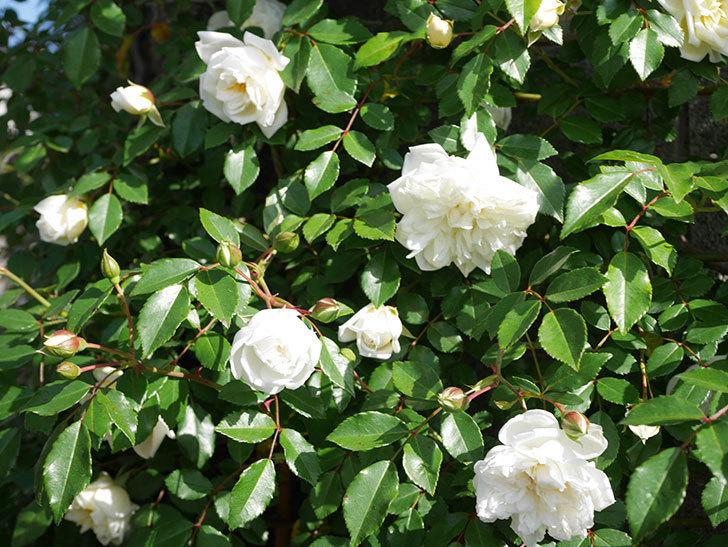 アルベリック・バルビエ(ツルバラ)の花が増えてきた。ツルバラ。2021年-038.jpg