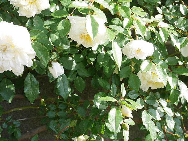 アルベリック・バルビエ(ツルバラ)の花が増えてきた。ツルバラ。2021年-039.jpg