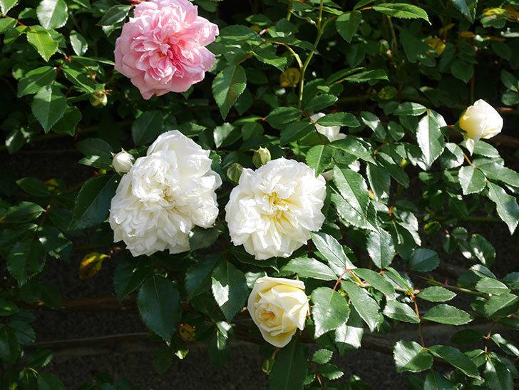 アルベリック・バルビエ(ツルバラ)の花が増えてきた。ツルバラ。2021年-040.jpg