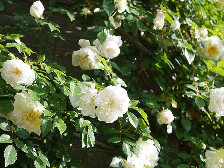 アルベリック・バルビエ(ツルバラ)の花が増えてきた。ツルバラ。2021年-041.jpg