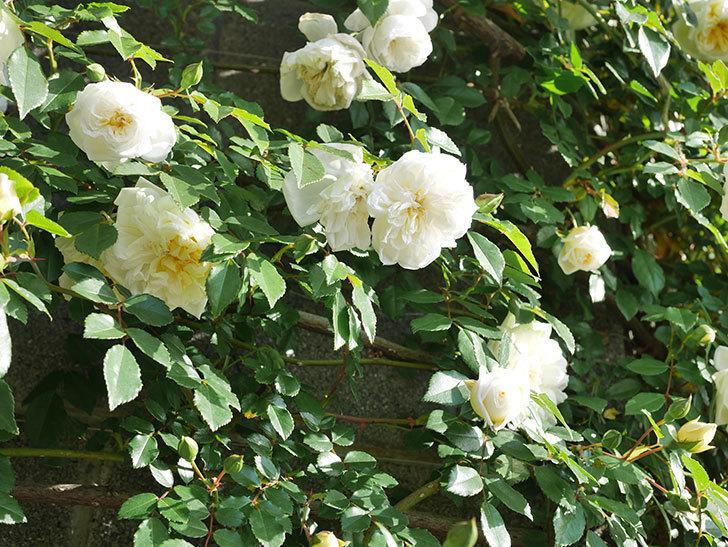 アルベリック・バルビエ(ツルバラ)の花が増えてきた。ツルバラ。2021年-042.jpg