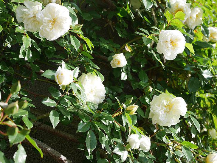 アルベリック・バルビエ(ツルバラ)の花が増えてきた。ツルバラ。2021年-043.jpg
