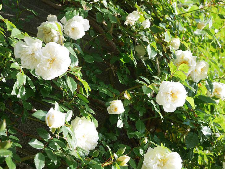 アルベリック・バルビエ(ツルバラ)の花が増えてきた。ツルバラ。2021年-044.jpg