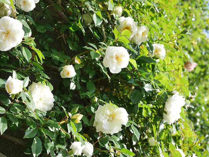 アルベリック・バルビエ(ツルバラ)の花が増えてきた。ツルバラ。2021年-045.jpg
