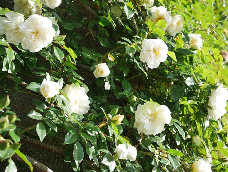 アルベリック・バルビエ(ツルバラ)の花が増えてきた。ツルバラ。2021年-046.jpg