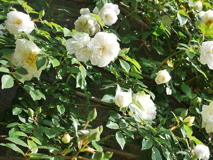 アルベリック・バルビエ(ツルバラ)の花が増えてきた。ツルバラ。2021年-047.jpg