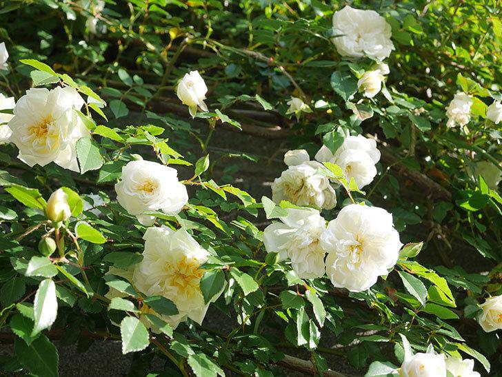 アルベリック・バルビエ(ツルバラ)の花が増えてきた。ツルバラ。2021年-048.jpg