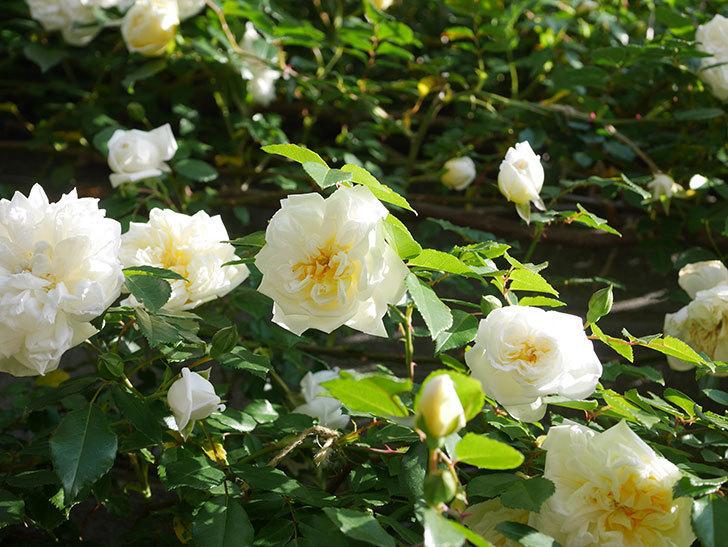 アルベリック・バルビエ(ツルバラ)の花が増えてきた。ツルバラ。2021年-049.jpg
