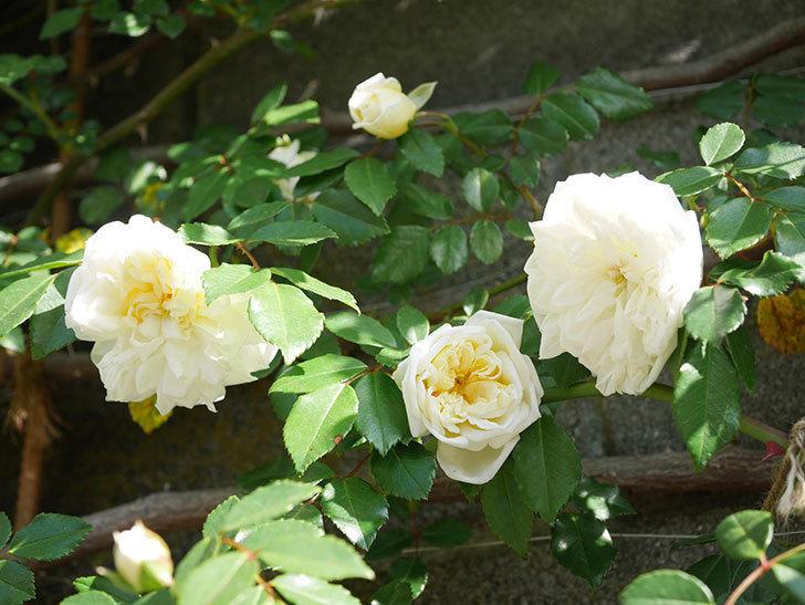 アルベリック・バルビエ(ツルバラ)の花が増えてきた。ツルバラ。2021年-050.jpg