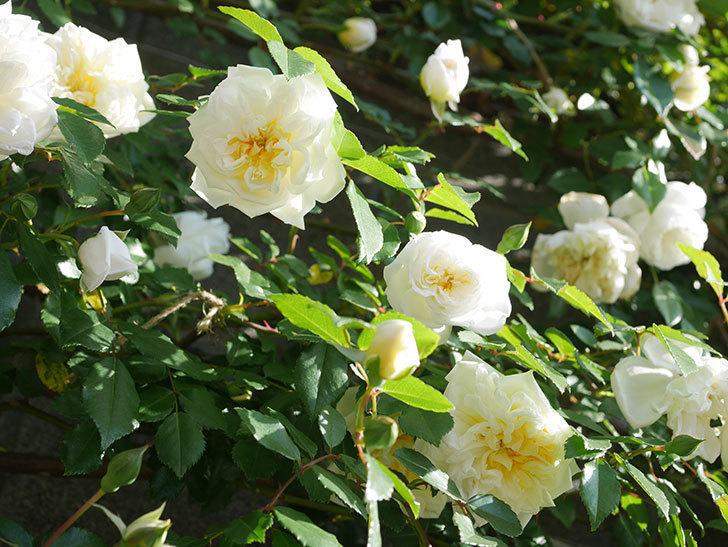 アルベリック・バルビエ(ツルバラ)の花が増えてきた。ツルバラ。2021年-051.jpg