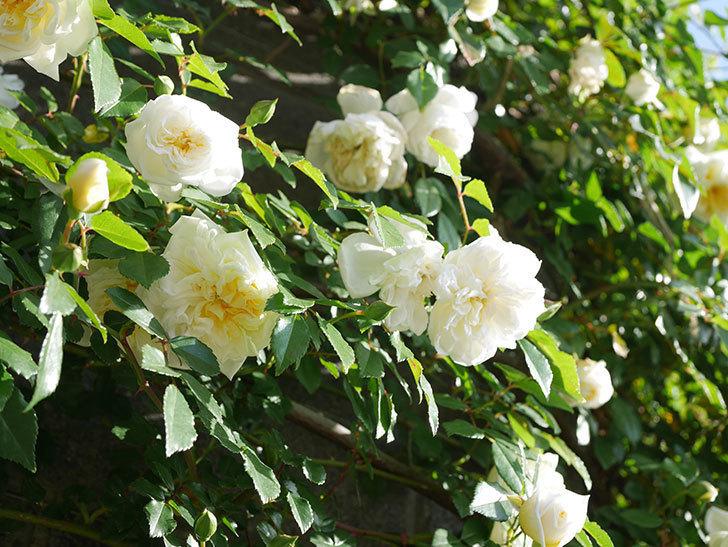 アルベリック・バルビエ(ツルバラ)の花が増えてきた。ツルバラ。2021年-052.jpg