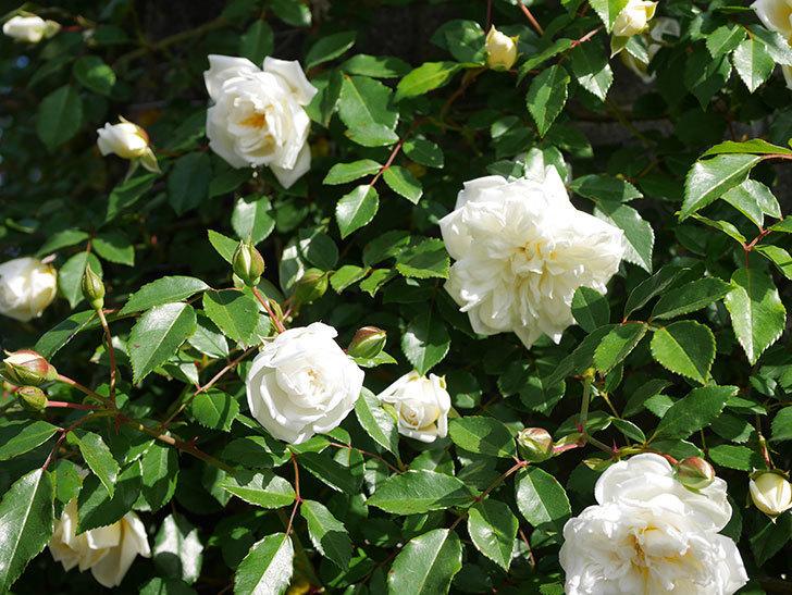 アルベリック・バルビエ(ツルバラ)の花が増えてきた。ツルバラ。2021年-053.jpg