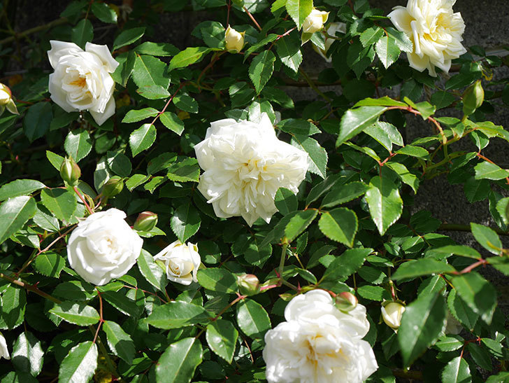 アルベリック・バルビエ(ツルバラ)の花が増えてきた。ツルバラ。2021年-054.jpg