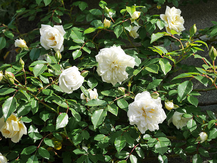 アルベリック・バルビエ(ツルバラ)の花が増えてきた。ツルバラ。2021年-055.jpg