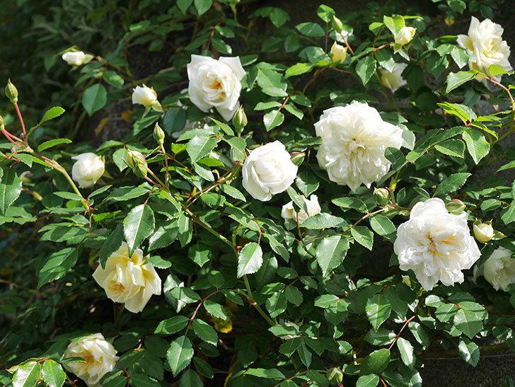 アルベリック・バルビエ(ツルバラ)の花が増えてきた。ツルバラ。2021年-056.jpg