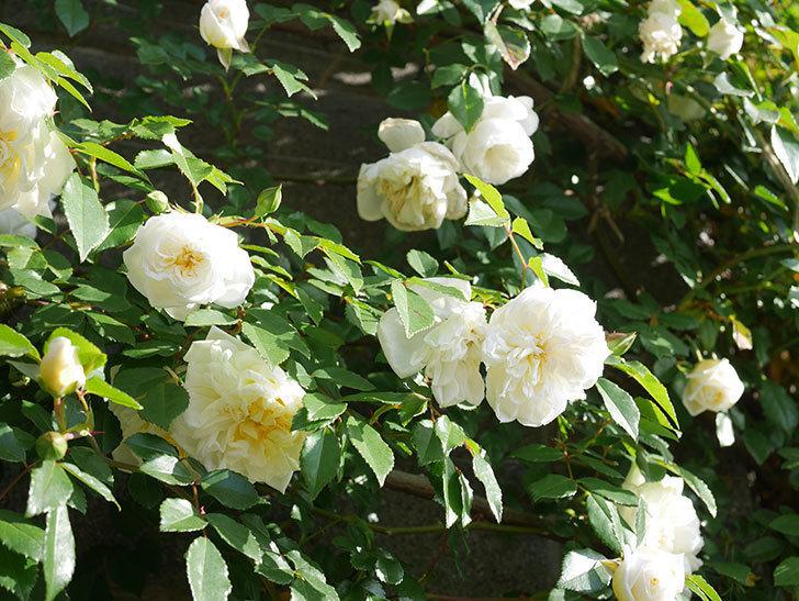 アルベリック・バルビエ(ツルバラ)の花が増えてきた。ツルバラ。2021年-058.jpg