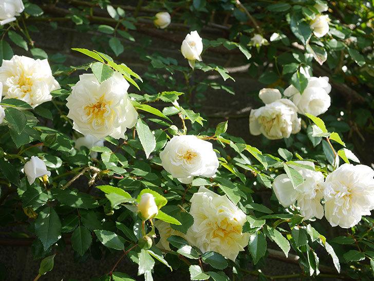 アルベリック・バルビエ(ツルバラ)の花が増えてきた。ツルバラ。2021年-059.jpg