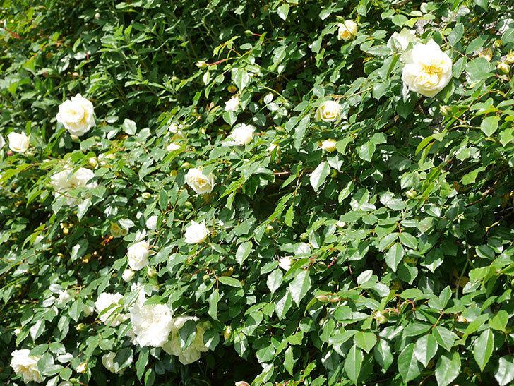 アルベリック・バルビエ(ツルバラ)の花が増えてきた。ツルバラ。2021年-063.jpg