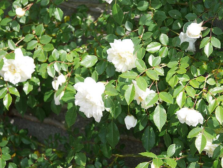 アルベリック・バルビエ(ツルバラ)の花が増えてきた。ツルバラ。2021年-065.jpg