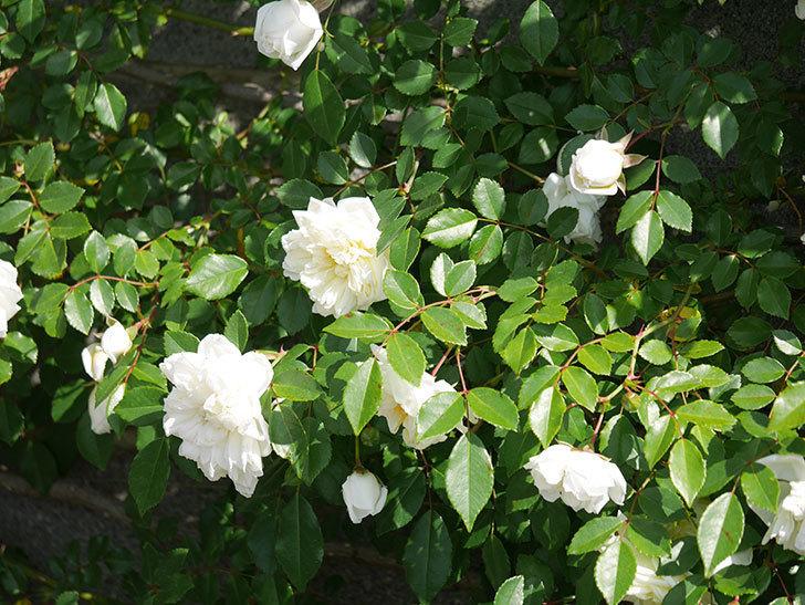 アルベリック・バルビエ(ツルバラ)の花が増えてきた。ツルバラ。2021年-066.jpg