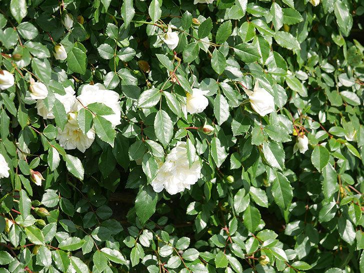 アルベリック・バルビエ(ツルバラ)の花が増えてきた。ツルバラ。2021年-067.jpg