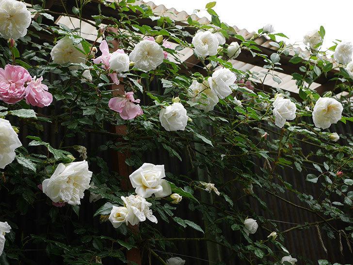 アルベリック・バルビエ(ツルバラ)の花が増えて来た。2019年-1.jpg