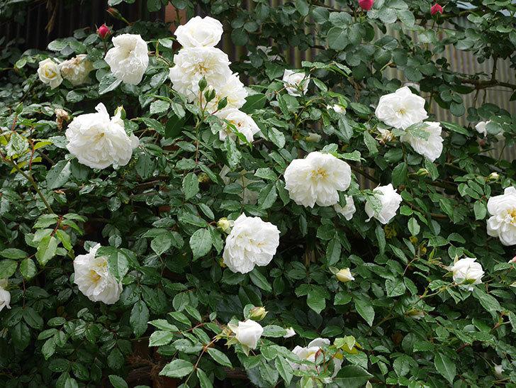 アルベリック・バルビエ(ツルバラ)の花が増えて来た。2019年-10.jpg