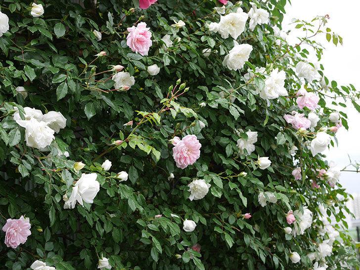 アルベリック・バルビエ(ツルバラ)の花が増えて来た。2019年-11.jpg