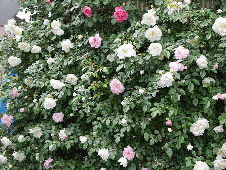 アルベリック・バルビエ(ツルバラ)の花が増えて来た。2019年-12.jpg