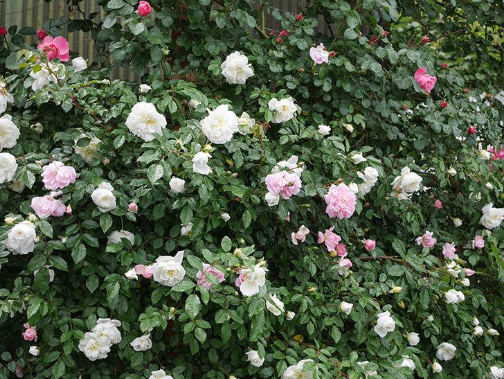 アルベリック・バルビエ(ツルバラ)の花が増えて来た。2019年-13.jpg