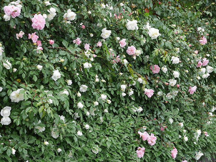 アルベリック・バルビエ(ツルバラ)の花が増えて来た。2019年-14.jpg