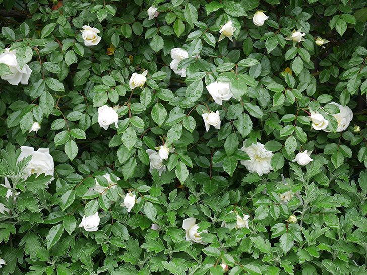 アルベリック・バルビエ(ツルバラ)の花が増えて来た。2019年-15.jpg