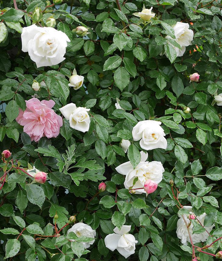 アルベリック・バルビエ(ツルバラ)の花が増えて来た。2019年-16.jpg