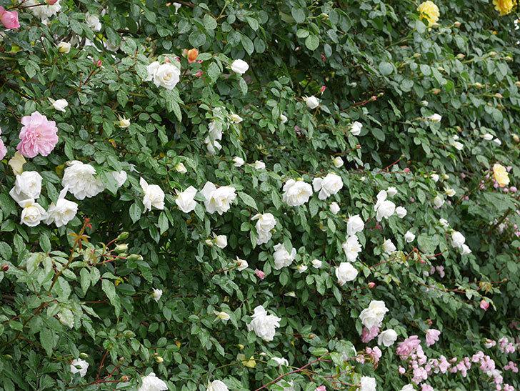 アルベリック・バルビエ(ツルバラ)の花が増えて来た。2019年-17.jpg