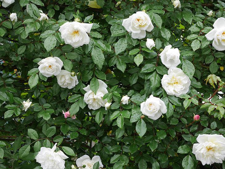 アルベリック・バルビエ(ツルバラ)の花が増えて来た。2019年-18.jpg