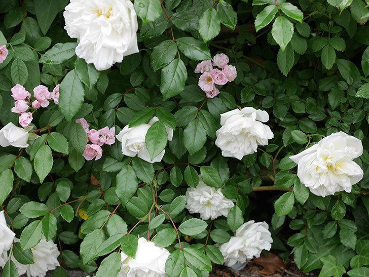 アルベリック・バルビエ(ツルバラ)の花が増えて来た。2019年-20.jpg