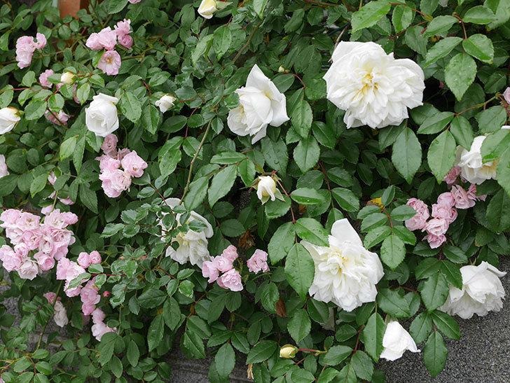 アルベリック・バルビエ(ツルバラ)の花が増えて来た。2019年-21.jpg