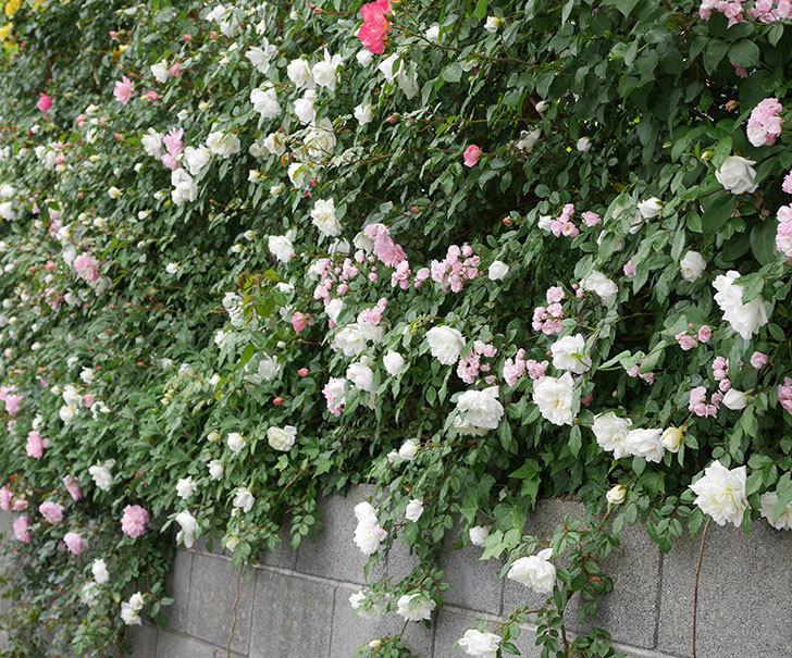 アルベリック・バルビエ(ツルバラ)の花が増えて来た。2019年-22.jpg