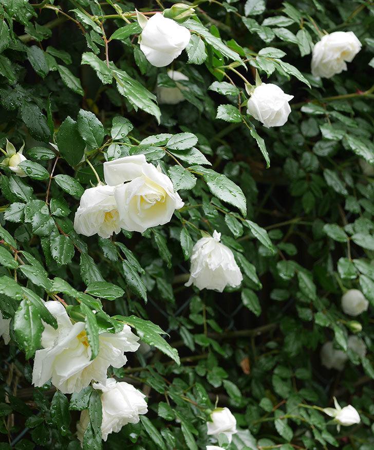 アルベリック・バルビエ(ツルバラ)の花が増えて来た。2019年-3.jpg