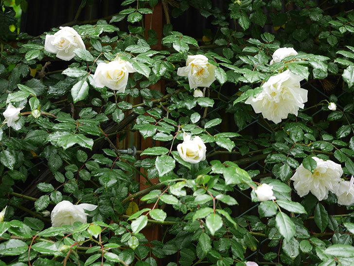 アルベリック・バルビエ(ツルバラ)の花が増えて来た。2019年-4.jpg