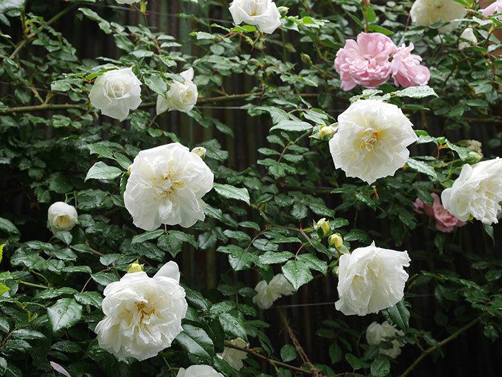 アルベリック・バルビエ(ツルバラ)の花が増えて来た。2019年-5.jpg