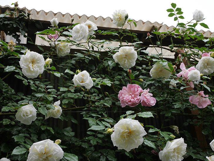 アルベリック・バルビエ(ツルバラ)の花が増えて来た。2019年-6.jpg