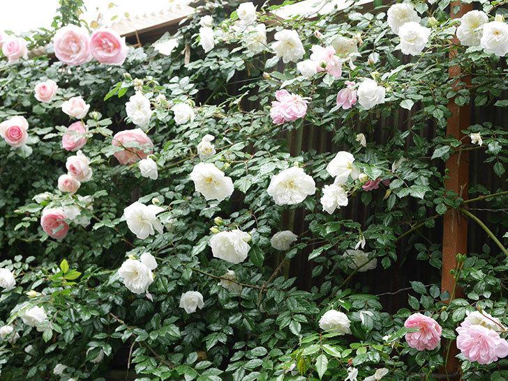 アルベリック・バルビエ(ツルバラ)の花が増えて来た。2019年-7.jpg