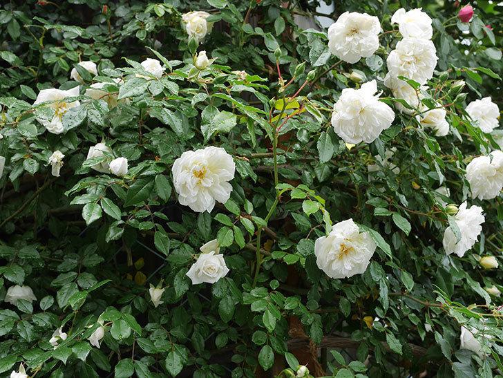 アルベリック・バルビエ(ツルバラ)の花が増えて来た。2019年-8.jpg