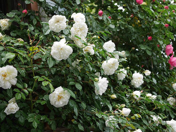 アルベリック・バルビエ(ツルバラ)の花が増えて来た。2019年-9.jpg